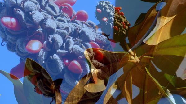 * Fruit de la magnòlia