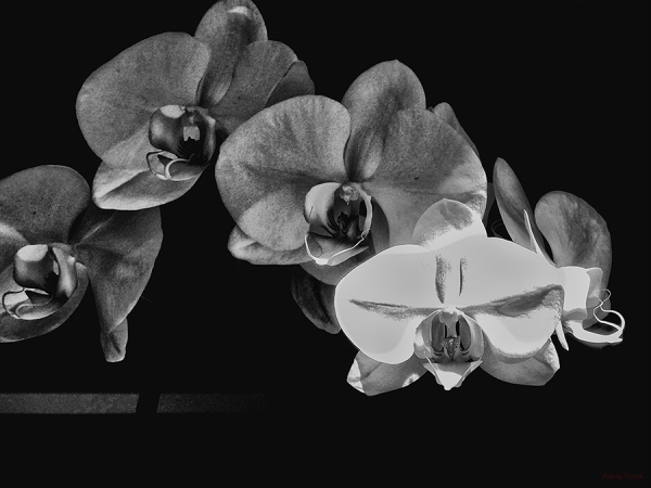 * Dibuix d'orquídea