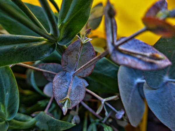 * Eucaliptus