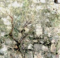 * Un arbre ben camuflat