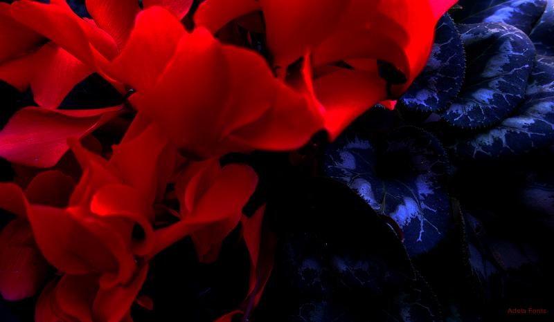 * Flors de ciclamen vermell