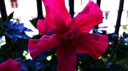 * Un hibiscus al meu balcó