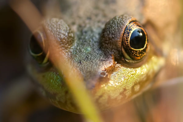 Close up picture of a frog. Main focus eyes.
