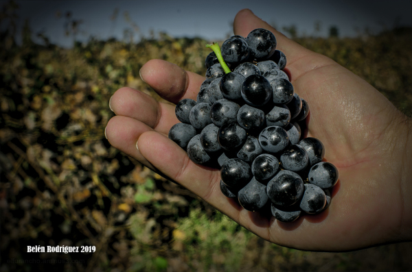 Grape harvest (Vendimia) 2