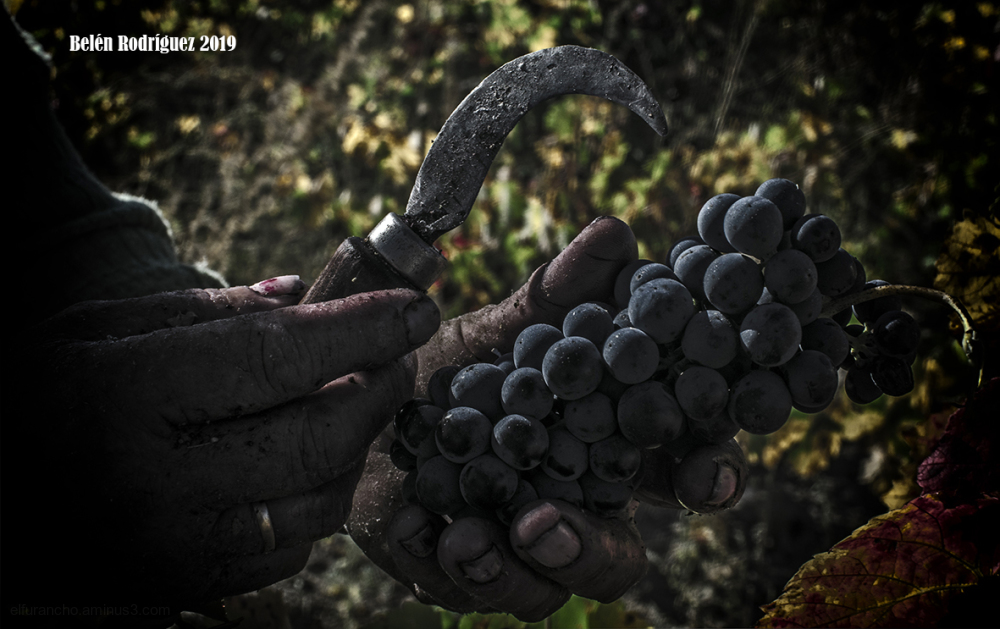 Grape harvest (Vendimia) 4