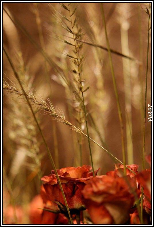 La rose et le blé