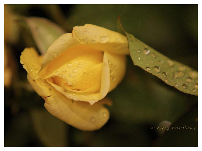 Rose, rosée,