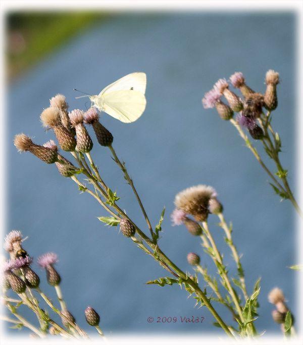 Papillon vole !