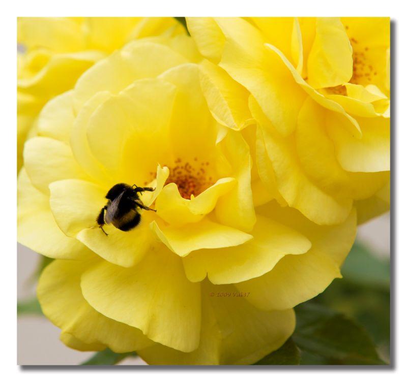 Abeille, fleur, rose