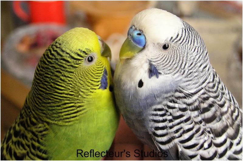love Parrot athens vironas greece hellas