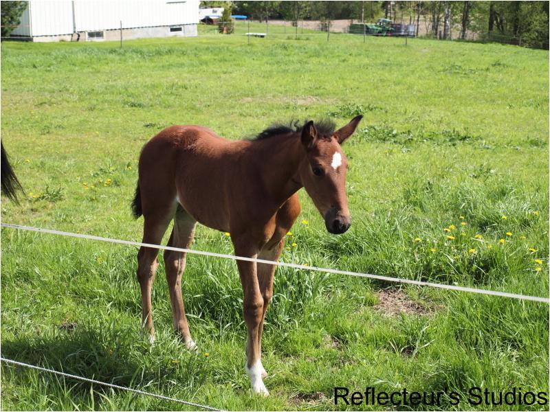 horse sweden sverige scandinavia reflecteurs studi
