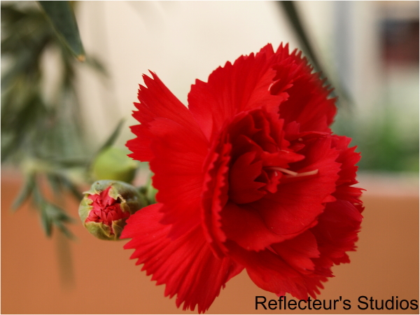 carnation garden vironas athens greece hellas