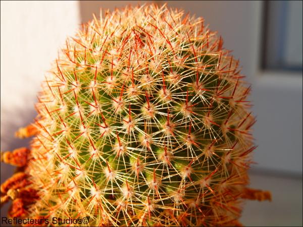 Alexandra's collection cactus pyrgos greece hellas