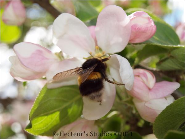 bee apple tree spring sweden scandinavia
