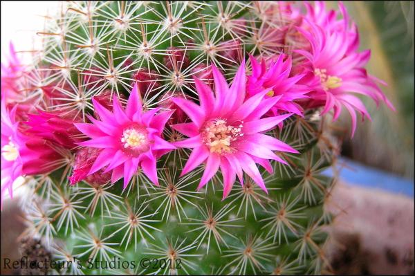 cactus pyrgos greece hellas alexandra ileia pirgos