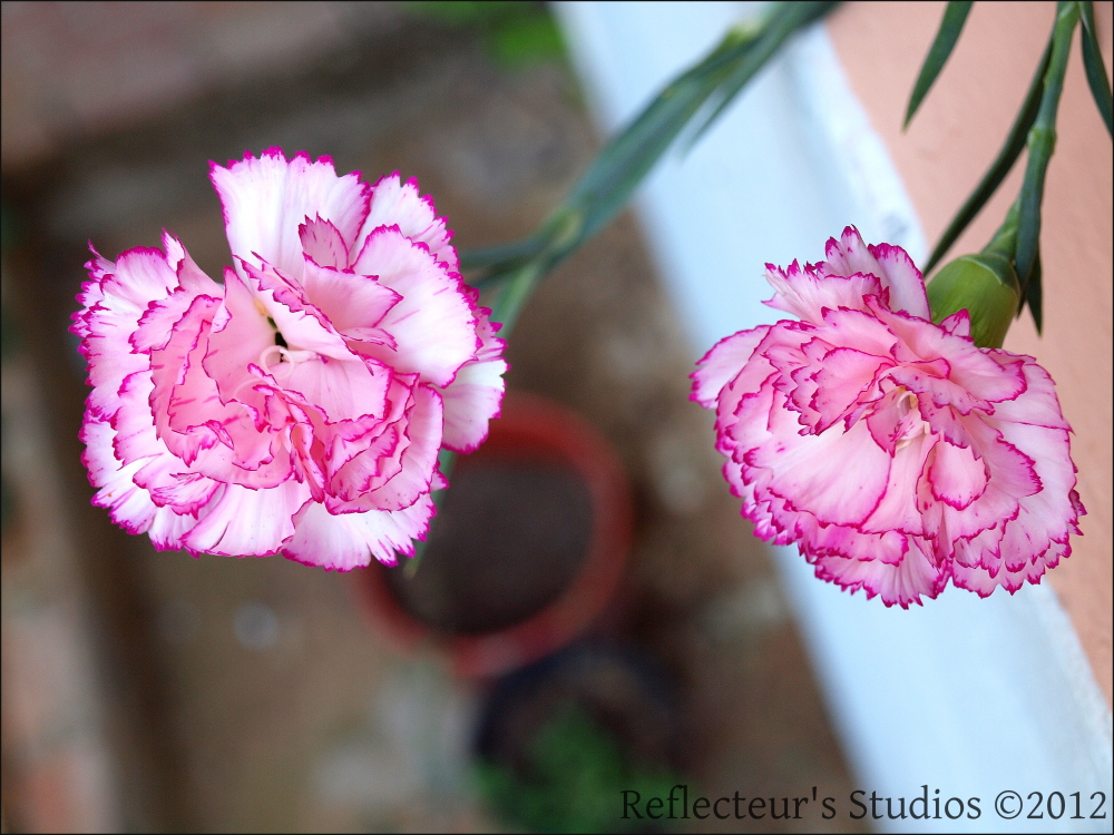 carnation virons greece hellas athens reflecteurs