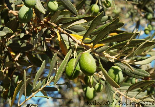 ikaria olive tree aegean greece hellas