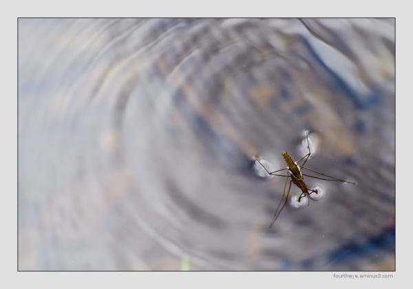 water strider ripples