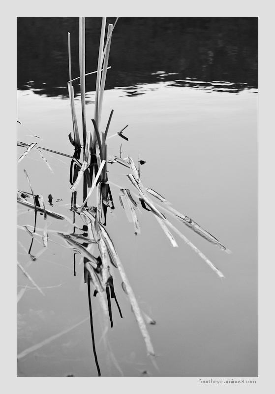 dead cattails