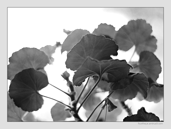 high key geranium macro