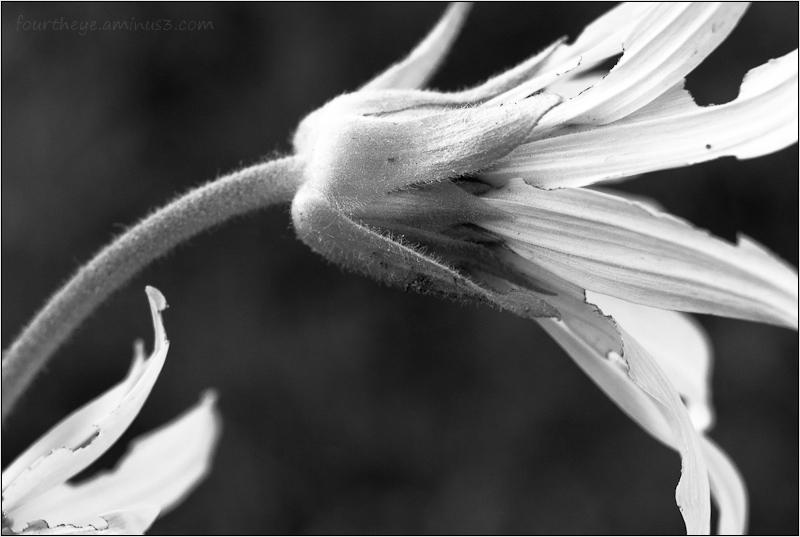 fading Mules Ear flower