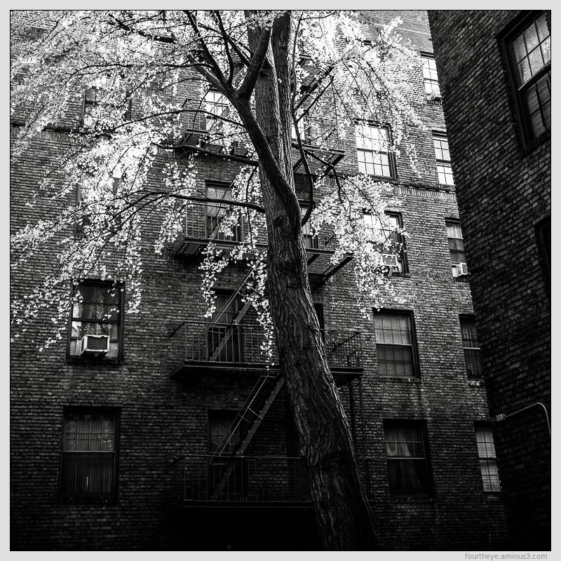 tree grows in harlem