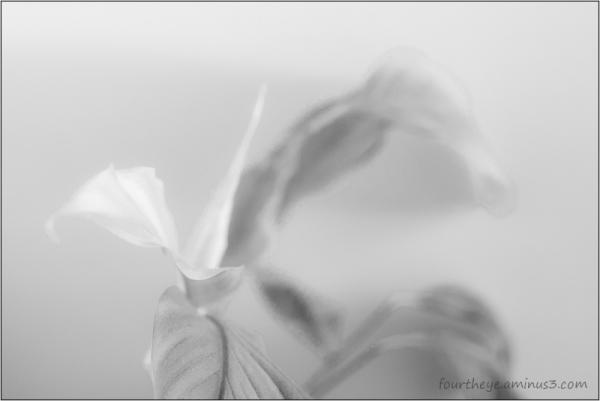 peace lily impression
