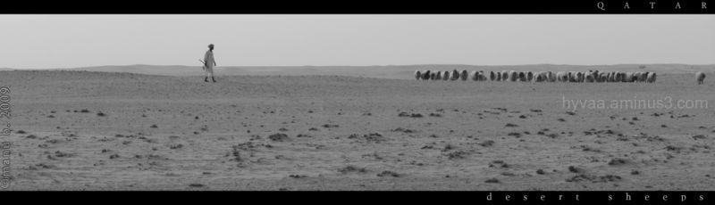 desert sheeps