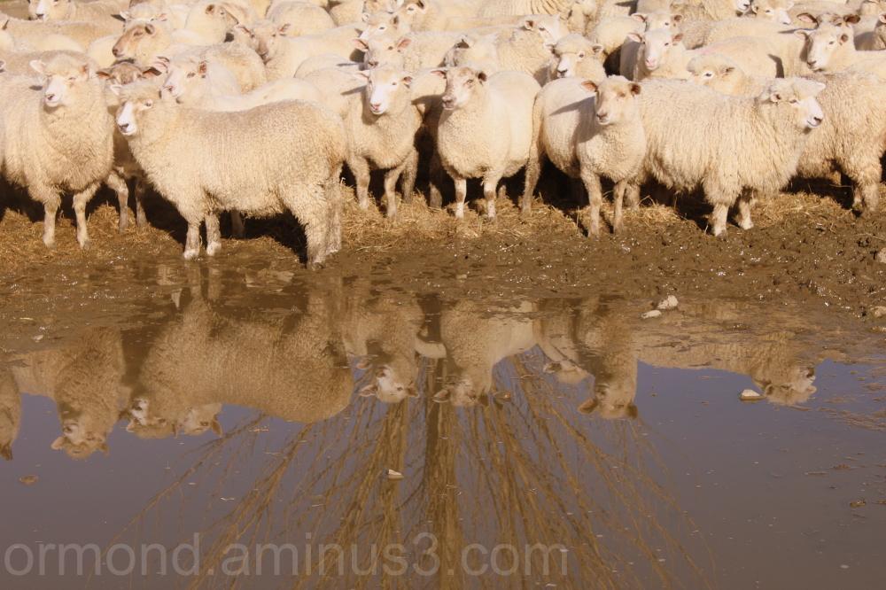 Sheep double