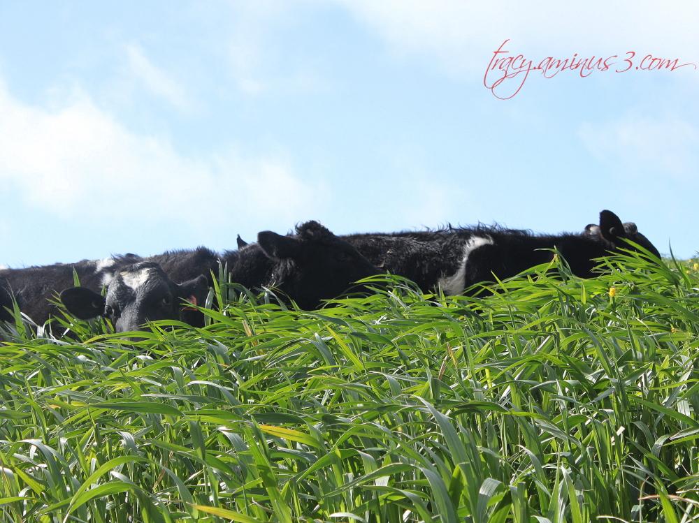 Cattle in cattle heaven