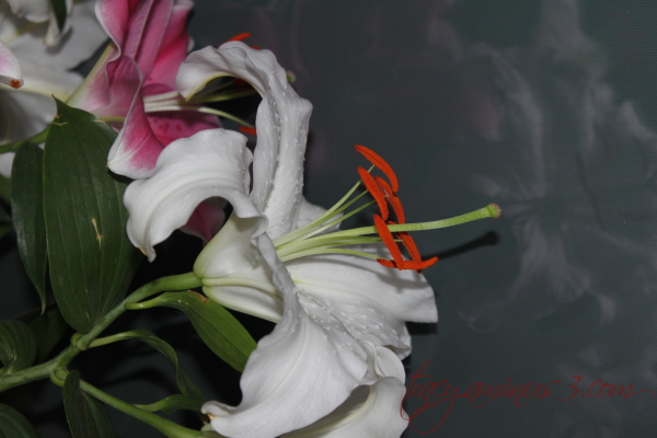 Lily paradise