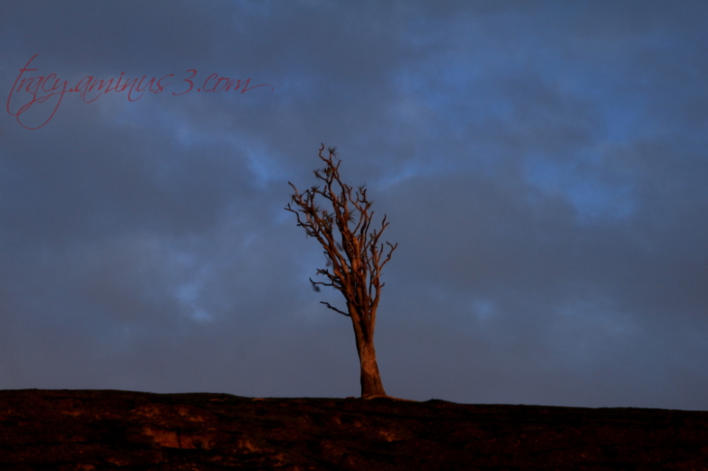 Dying cabbage tree