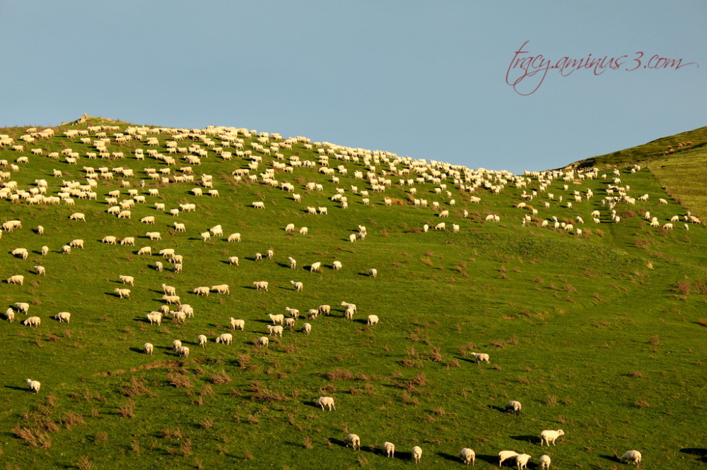 A paddock full of sheep