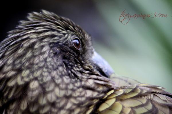 Kea the bird