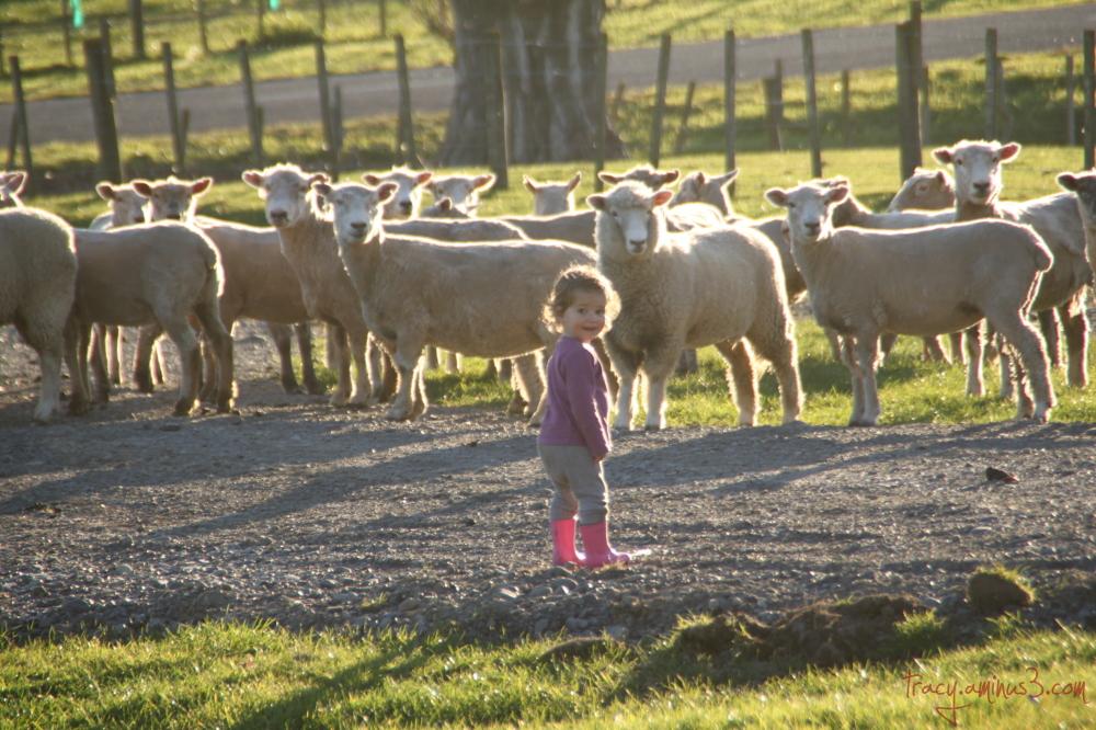 Rounding sheep