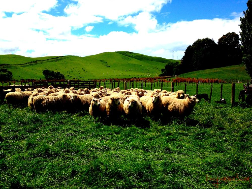 Farming sheep