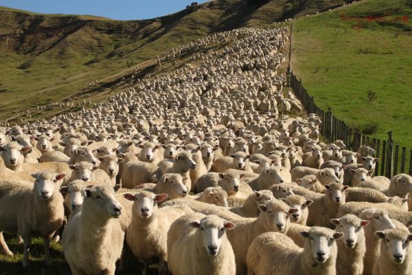 Ewe mob