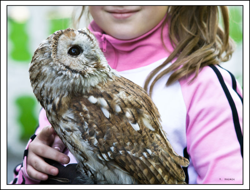 tawny owl in child's hands