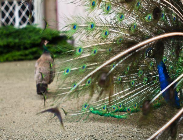 peacock left alone