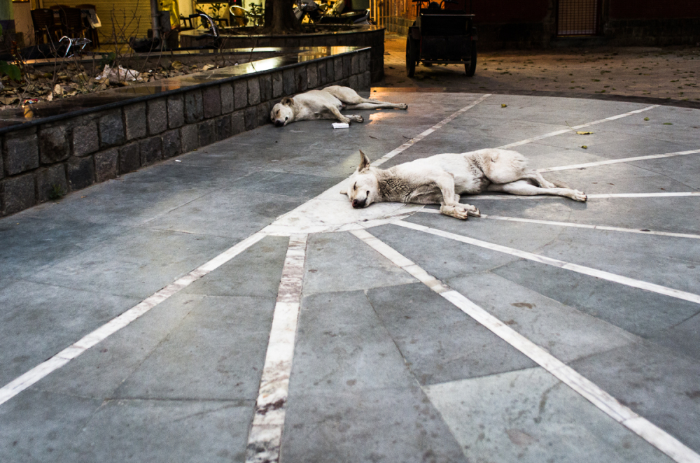 Stray dogs Napping