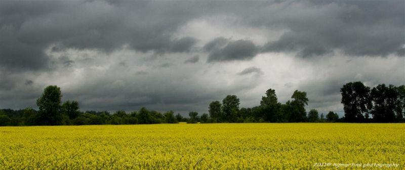Yellow fields of dreams