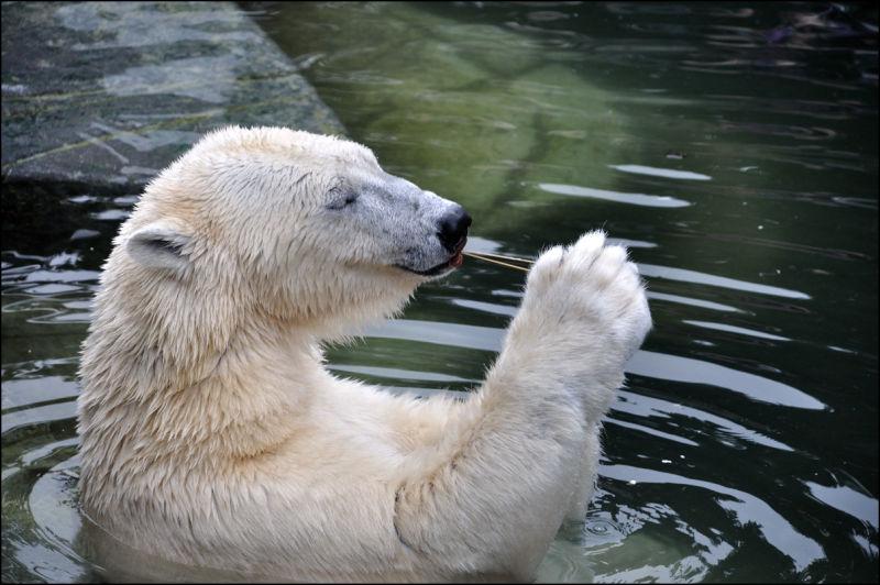 polar bear and pacifier