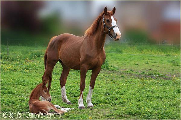 horse, veulen, foal,
