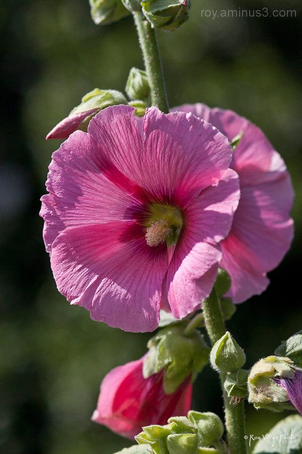 fleur rosé