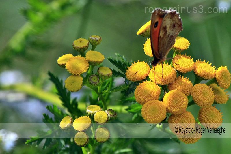 winde bloemen