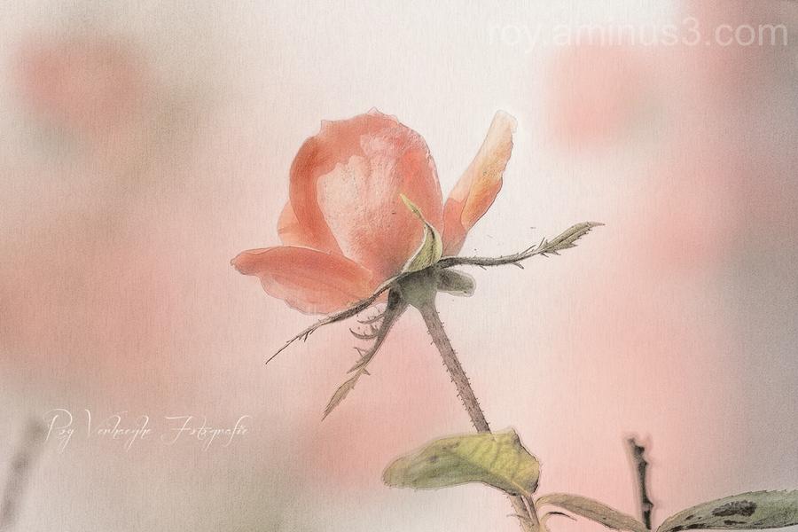 Roos rosé