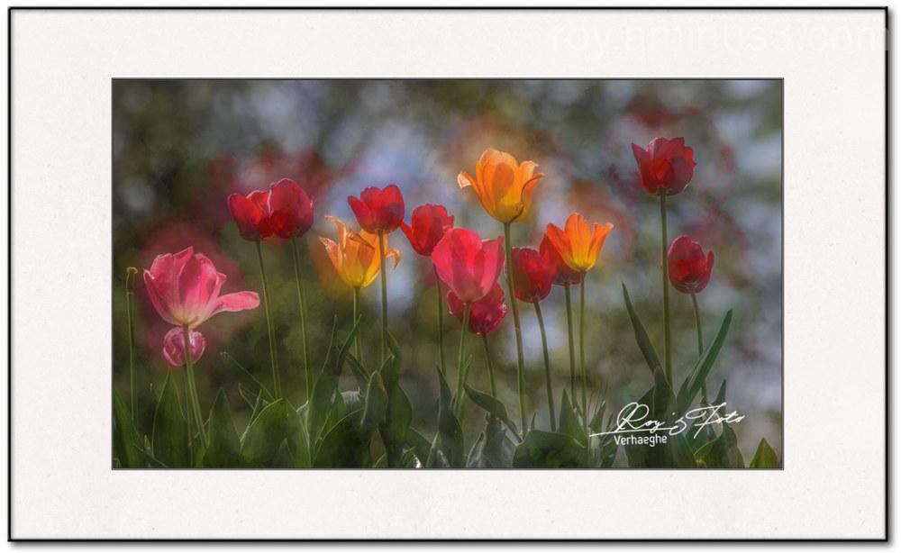Tulpen uit Amsterdam....