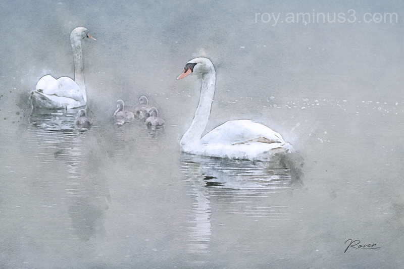 Zwanen familie