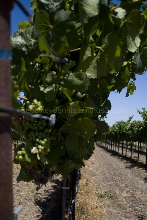 Vineyard #4