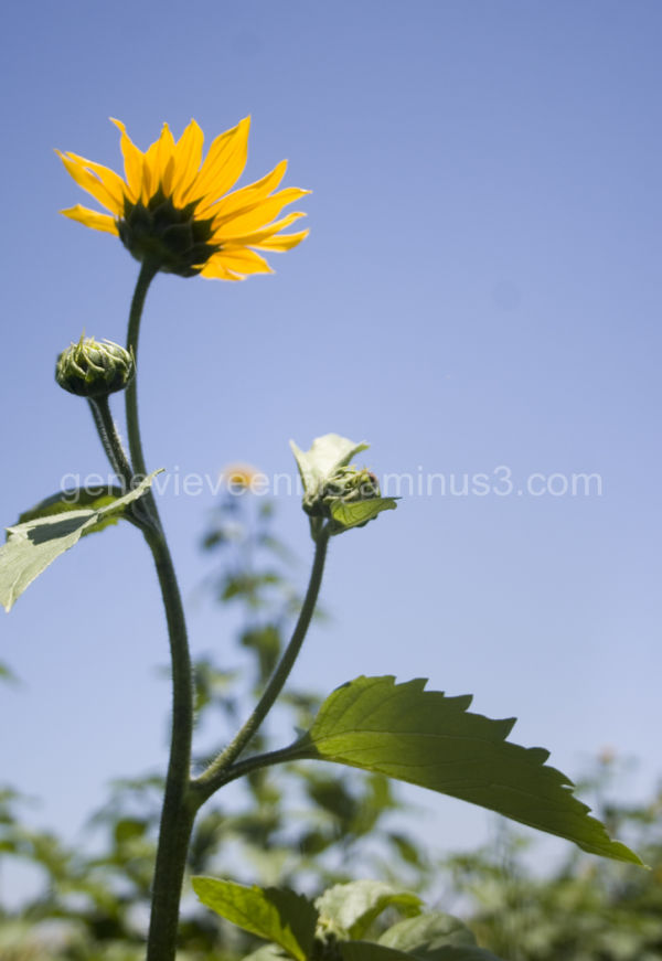 sunflower #4